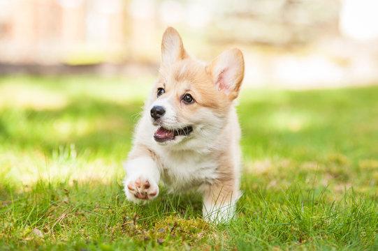 Pembroke welsh corgi puppy running
