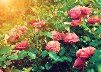 Roses plantation in sunny day