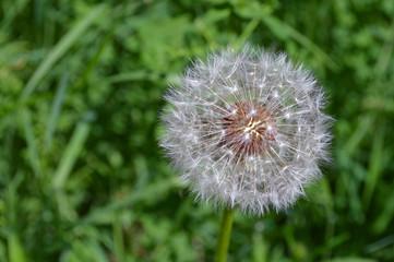 Fluffy Dandelion On Green Background