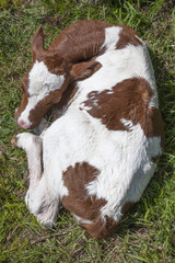 red and white calf in grass seen from above