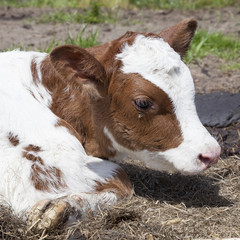 head of red and white calf that lies in the grass