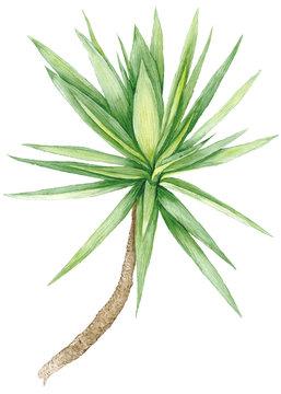 Watercolor Yucca Tree