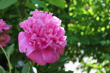 Peony flower. Photo captured on may, 2015.