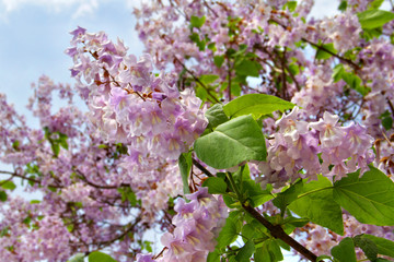 Chinesischer Blauglockenbaum - Paulownia Tomentosa