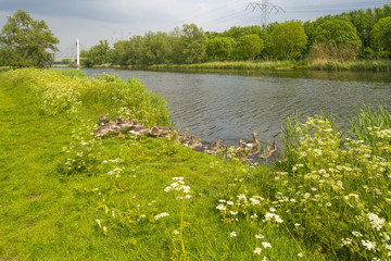 Geese with goslings near the shore of a canal in spring