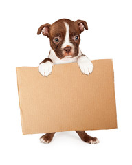 Wall Mural - Boston Terrier Puppy Holding Blank Cardboard Sign