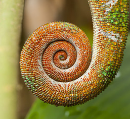 tail of chameleon