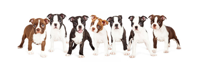 Row of Boston Terrier Puppies Wall mural