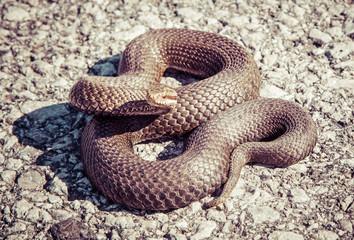 Snake - Vipera Berus