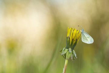 Leptidea butterfly resting on dandelion after rain