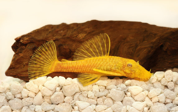 Golden Ancistrus pleco catfish Bristle-nose aquarium fish