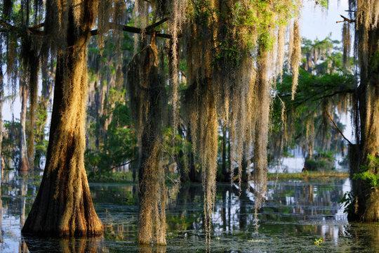 Mousse espagnole dans les Bayous de Louisiane