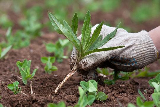 weeding in the vegetable garden, closeup