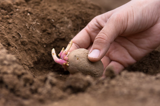 hand planting potato tuber into the ground