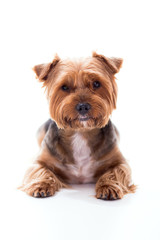 Cute dog lies on white background. Yorkshire Terrier
