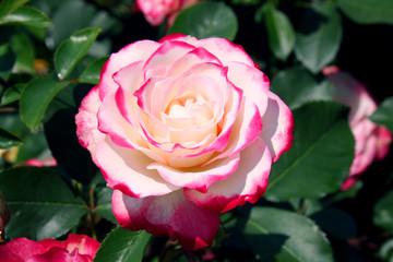 赤白バラの花 (ジュビレ・デュ・プリンス・ドゥ・モナコ)