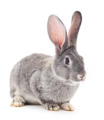 Grey rabbit .