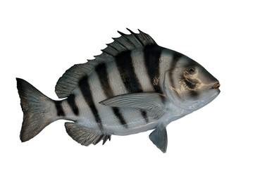 Sheepshead fish mount