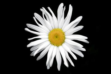 Giant daisy flower in garden singular ,against black background