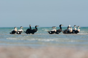 Common eiders and great cormorants