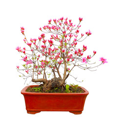 Red azalea bonsai