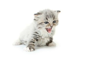 Small kitten isolated on white