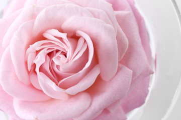 Beautiful fresh rose, closeup
