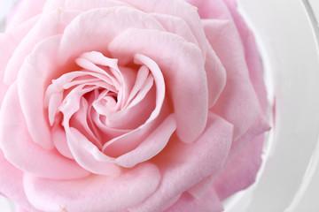 Beautiful fresh rose, closeup