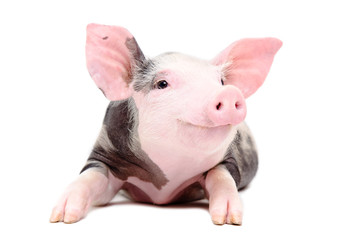 Portrait of the funny little pig