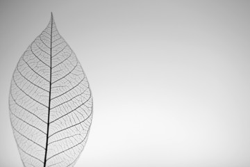 Zelfklevend Fotobehang Decoratief nervenblad Skeleton leaf on grey background, close up