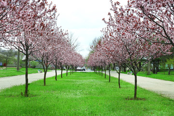 Beautiful flowering trees in park