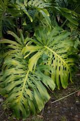 Big leaves tropical monstera plant