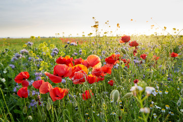 Meadow full of wild flowers at sunset