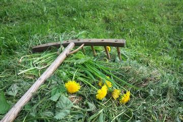 rustic wooden rake with dandelions