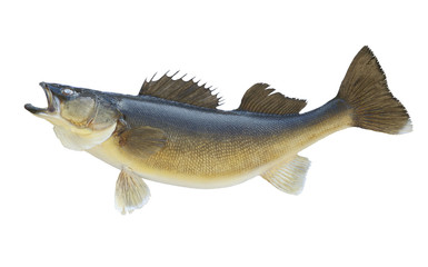 Nice walleye isolated on a white background