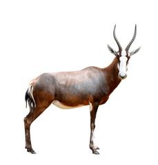 blesbok antelopes (Damaliscus pygargus)