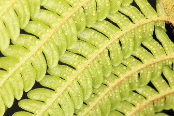 Close-up of fern leafs against black background