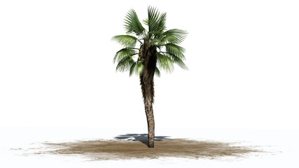Chinese Fan Palm - separated on white background