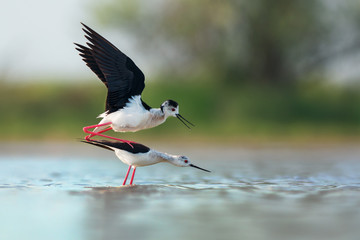 Black-winged stilts mating