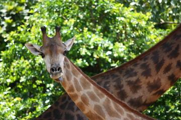 Giraffe, tall, trees, green, zoo, wildlife