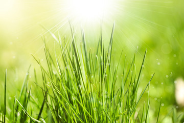 Green grass with dew on bright background