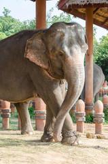 Thai elephant at the Elephant Village, Thailand.