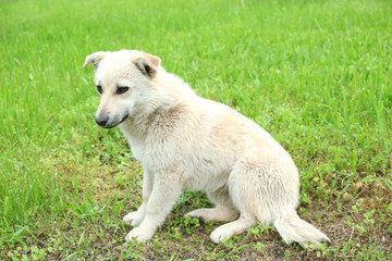 White stray dog over green grass background