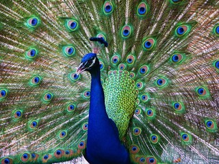 A Peacock in Full Plumage