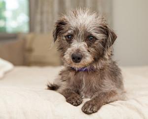 Cute Little Terrier Crossbreed on Bed