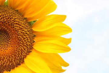 Sunflower against light blue sky