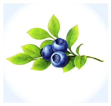 Blueberry branchon white background.