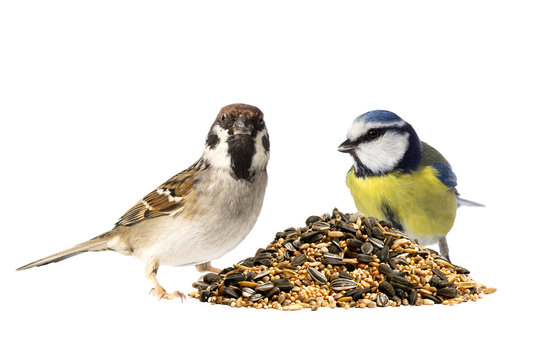 Tree sparrow and blue tit with bird seeds on white background