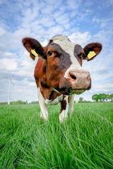 Fototapete - Neugierige, rotbunte Kuh auf einer grünen Frühlingswiese