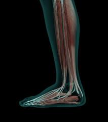 Human Anatomy Muscles of a leg